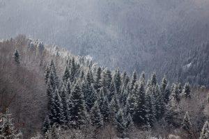 Елова Шума